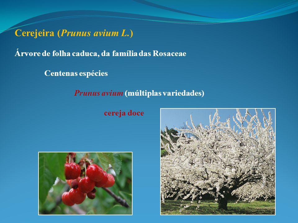 Cerejeira (Prunus avium L.) Árvore de folha caduca, da família das Rosaceae Centenas espécies Prunus avium (múltiplas variedades) cereja doce