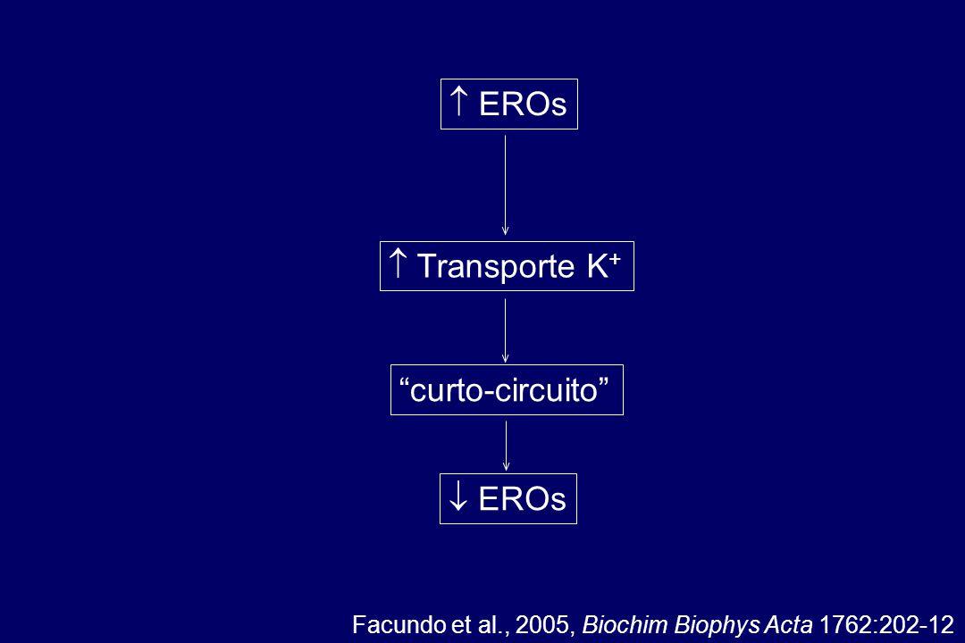 Facundo et al., 2005, Biochim Biophys Acta 1762:202-12  EROs curto-circuito  EROs  Transporte K +