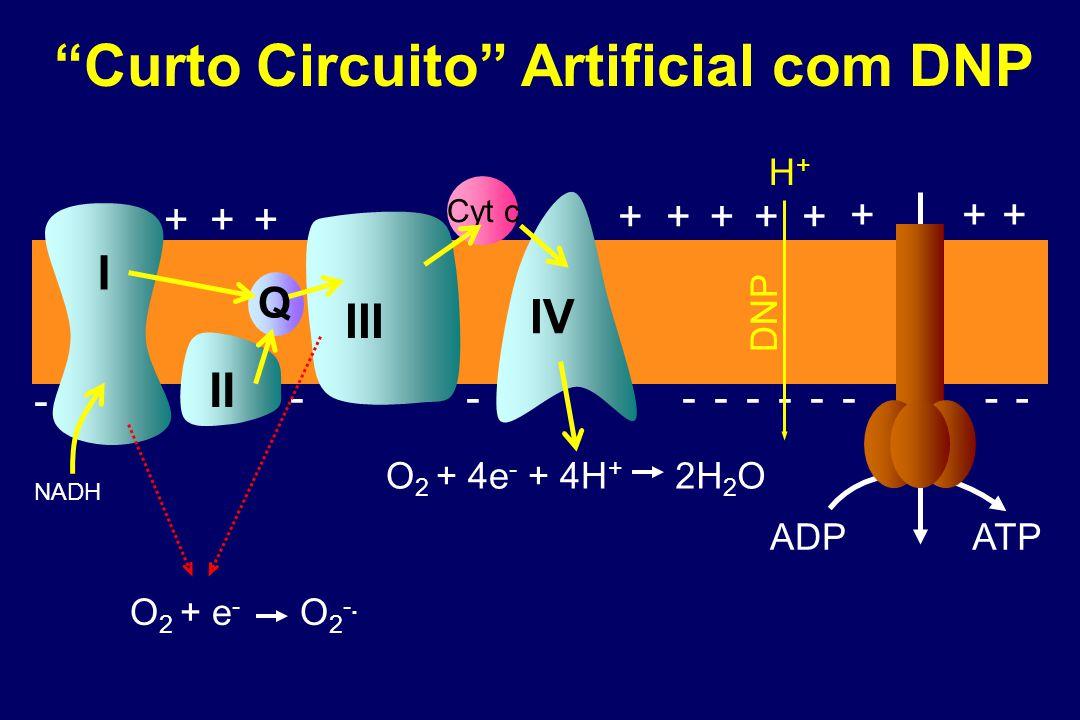 Cyt c I II IV NADH III +++ +++++ +++ ADP ATP Q ---------- - Curto Circuito Artificial com DNP O 2 + e - O 2 -.