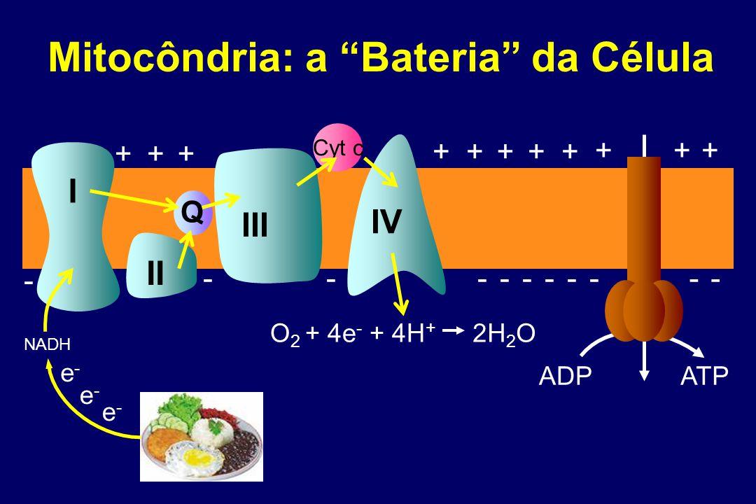 Cyt c I II IV O 2 + 4e - + 4H + 2H 2 O NADH III +++ +++++ +++ ADP ATP Q Mitocôndria: a Bateria da Célula ---------- - e-e- e-e- e-e-