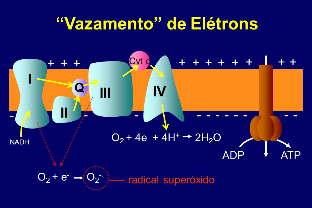 Mitocôndrias, EROs e Envelhecimento Harman, D (1956) J Gerontol 11, 298-300 Aging and the degenerative diseases associated with it are attributed basically to the deleterious side attacks of free radicals on cell constituents and on the connective tissues. Sohal and Weindruch Science 1996 273:59-63 Restrição Calórica  EROs  Envelhecimento