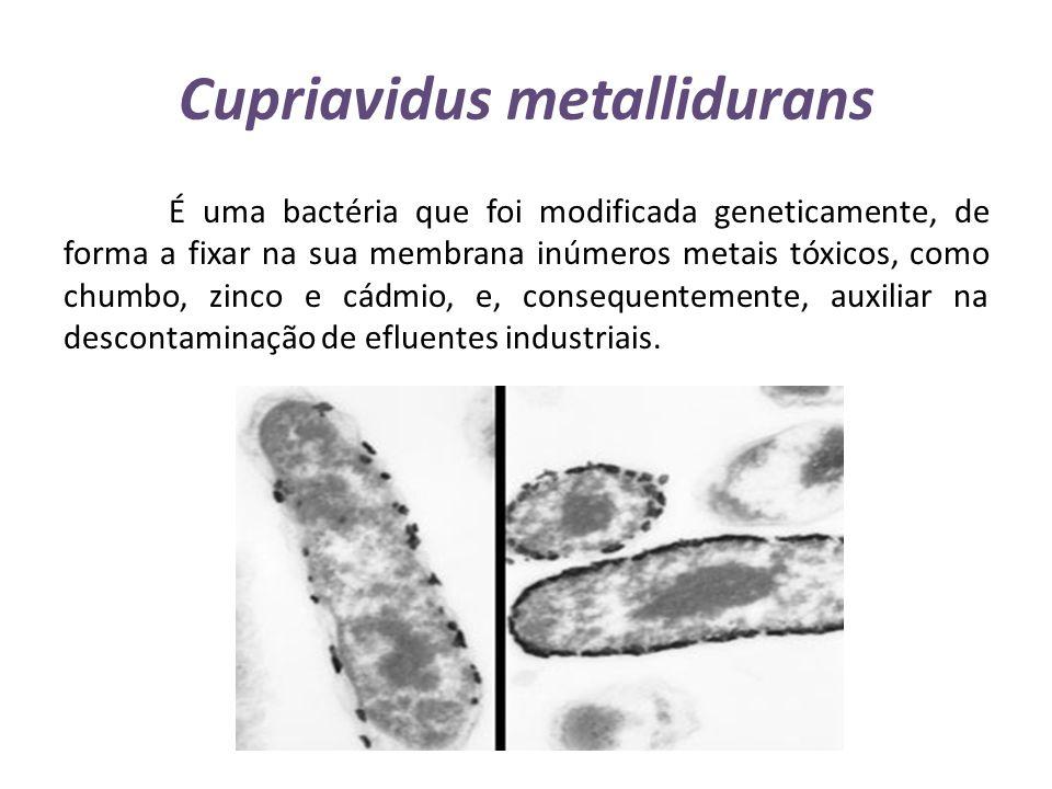 Cupriavidus metallidurans É uma bactéria que foi modificada geneticamente, de forma a fixar na sua membrana inúmeros metais tóxicos, como chumbo, zinc