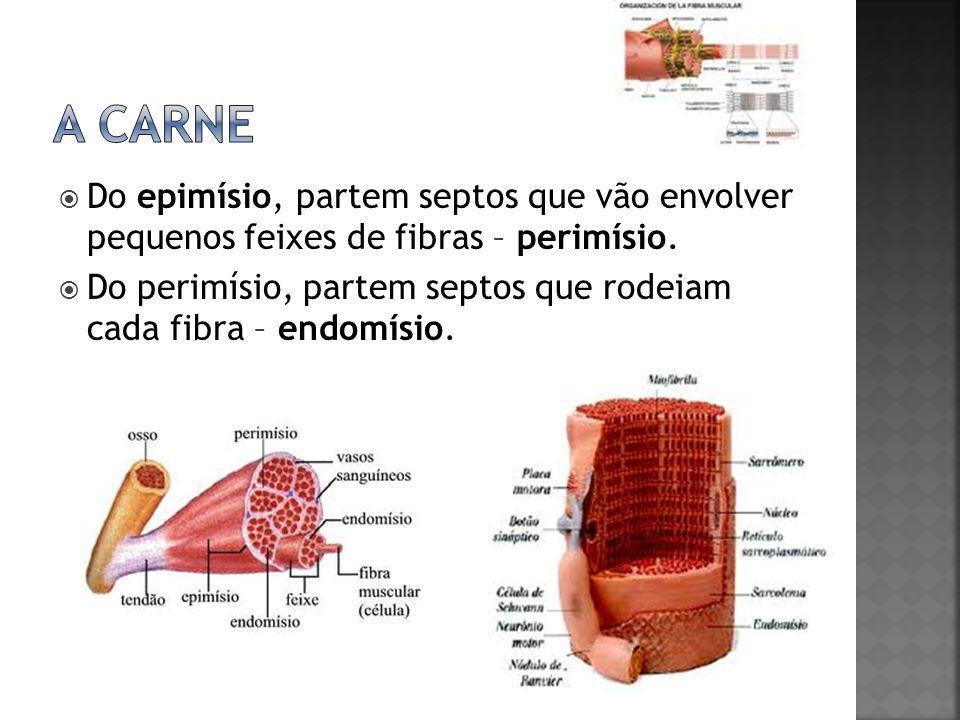  Do epimísio, partem septos que vão envolver pequenos feixes de fibras – perimísio.  Do perimísio, partem septos que rodeiam cada fibra – endomísio.