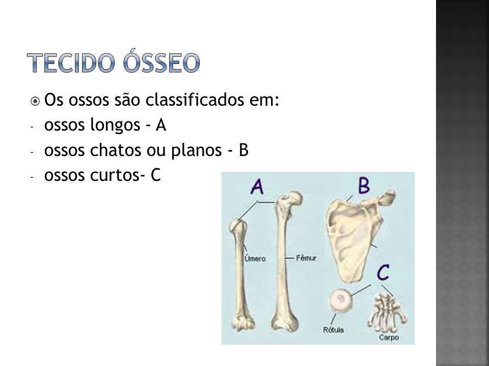  Os ossos são classificados em: - ossos longos - A - ossos chatos ou planos - B - ossos curtos- C