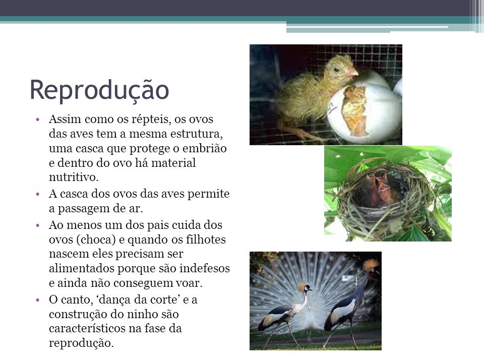 Reprodução Assim como os répteis, os ovos das aves tem a mesma estrutura, uma casca que protege o embrião e dentro do ovo há material nutritivo. A cas