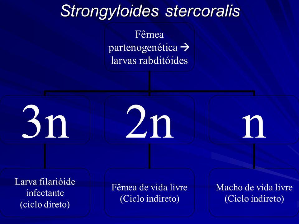 Strongyloides stercoralis Fêmea partenogenética  larvas rabditóides 3n Larva filarióide infectante (ciclo direto) 2n Fêmea de vida livre (Ciclo indireto) n Macho de vida livre (Ciclo indireto)
