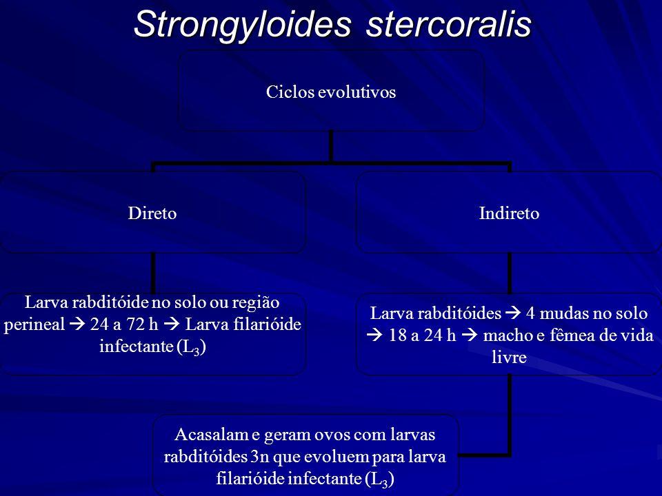 Strongyloides stercoralis Ciclos evolutivos Direto Larva rabditóide no solo ou região perineal  24 a 72 h  Larva filarióide infectante (L3) Indireto Larva rabditóides  4 mudas no solo  18 a 24 h  macho e fêmea de vida livre Acasalam e geram ovos com larvas rabditóides 3n que evoluem para larva filarióide infectante (L3)