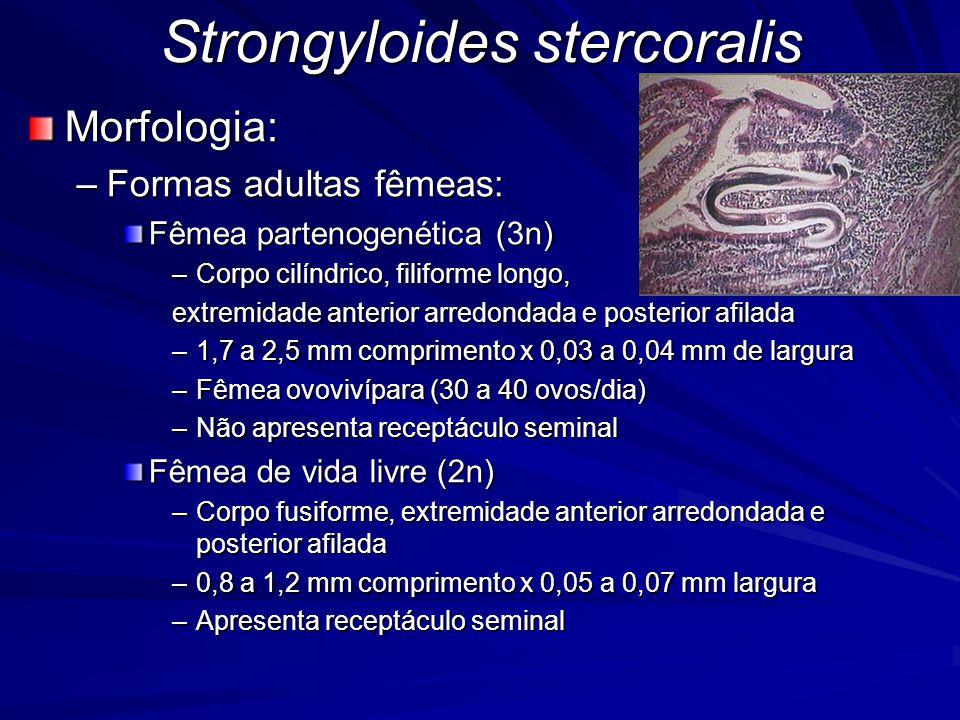 Strongyloides stercoralis Morfologia: –Macho de vida livre (n) Corpo fusiforme, com extremidade anterior arredondada e posterior recurvada ventralmente 0,7 mm de comprimento x 0,04 mm largura –Ovo Elípticos, parede fina e transparente 0,05 mm comprimento x 0,03 mm largura Eclode assim que é eliminado