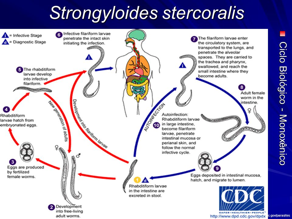 Strongyloides stercoralis Fonte: NEVES, DP.Parasitologia Humana.