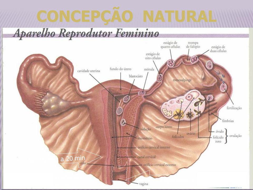 CONCEPÇÃO NATURAL ¾ : 90 seg a 20 min milhões espermatozoides 01 a 02 hs - imobilização 12 a 14 hs - destruídos