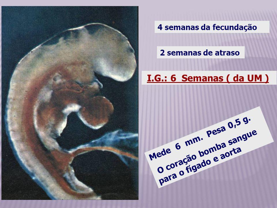 I.G.: 6 Semanas ( da UM ) 2 semanas de atraso Mede 6 mm. Pesa 0,5 g. O coração bomba sangue para o fígado e aorta 4 semanas da fecundação