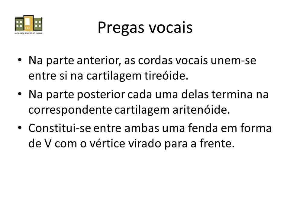 Pregas vocais Na parte anterior, as cordas vocais unem-se entre si na cartilagem tireóide. Na parte posterior cada uma delas termina na correspondente