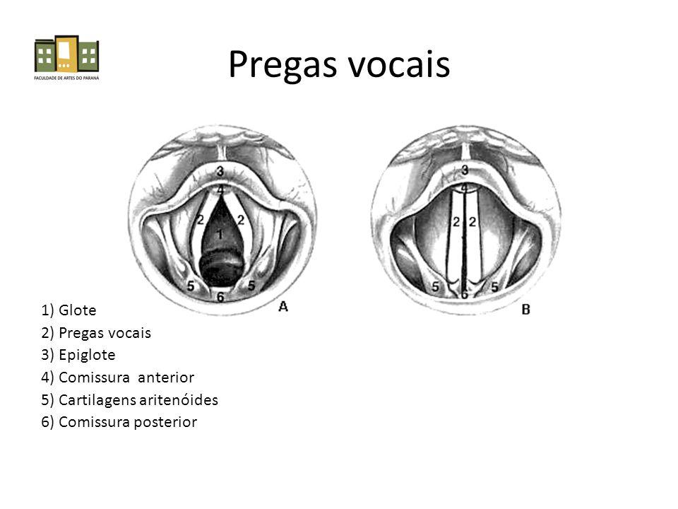 Pregas vocais 1) Glote 2) Pregas vocais 3) Epiglote 4) Comissura anterior 5) Cartilagens aritenóides 6) Comissura posterior