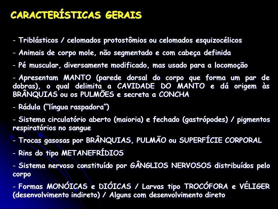 CARACTERÍSTICAS GERAIS - Triblásticos / celomados protostômios ou celomados esquizocélicos - Animais de corpo mole, não segmentado e com cabeça definida - Pé muscular, diversamente modificado, mas usado para a locomoção - Apresentam MANTO (parede dorsal do corpo que forma um par de dobras), o qual delimita a CAVIDADE DO MANTO e dá origem às BRÂNQUIAS ou os PULMÕES e secreta a CONCHA - Rádula ( língua raspadora ) - Sistema circulatório aberto (maioria) e fechado (gastrópodes) / pigmentos respiratórios no sangue - Trocas gasosas por BRÂNQUIAS, PULMÃO ou SUPERFÍCIE CORPORAL - Rins do tipo METANEFRÍDIOS - Sistema nervoso constituído por GÂNGLIOS NERVOSOS distribuídos pelo corpo - Formas MONÓICAS e DIÓICAS / Larvas tipo TROCÓFORA e VÉLIGER (desenvolvimento indireto) / Alguns com desenvolvimento direto