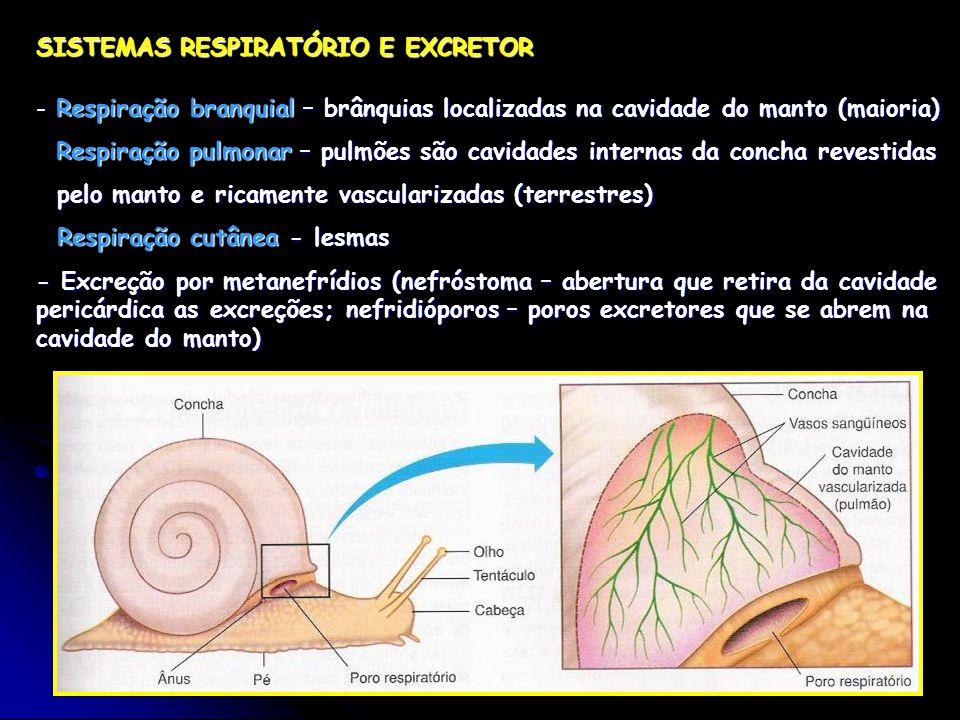 SISTEMAS RESPIRATÓRIO E EXCRETOR - Respiração branquial – brânquias localizadas na cavidade do manto (maioria) Respiração pulmonar – pulmões são cavidades internas da concha revestidas pelo manto e ricamente vascularizadas (terrestres) pelo manto e ricamente vascularizadas (terrestres) Respiração cutânea - lesmas Respiração cutânea - lesmas - Excreção por metanefrídios (nefróstoma – abertura que retira da cavidade pericárdica as excreções; nefridióporos – poros excretores que se abrem na cavidade do manto)