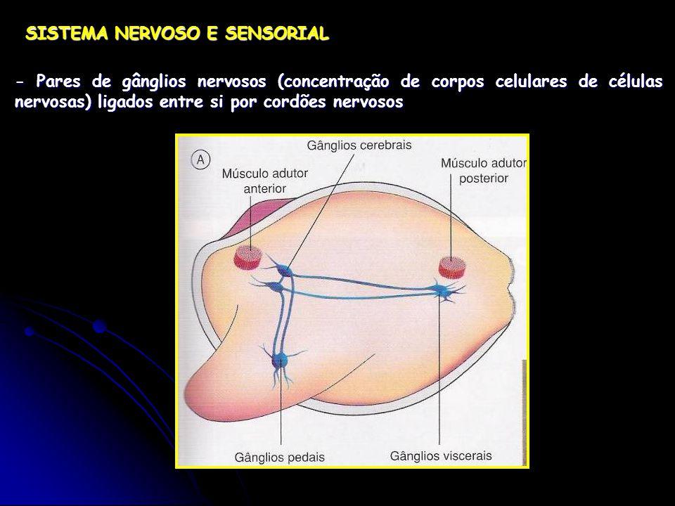 SISTEMA NERVOSO E SENSORIAL - Pares de gânglios nervosos (concentração de corpos celulares de células nervosas) ligados entre si por cordões nervosos