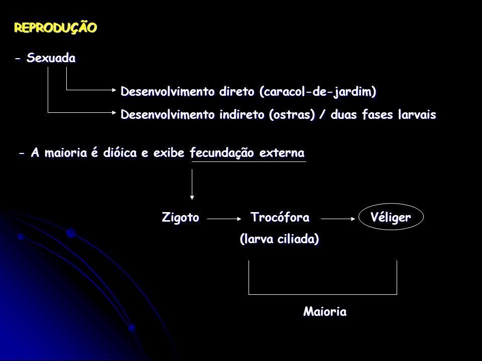 REPRODUÇÃO - Sexuada Desenvolvimento direto (caracol-de-jardim) Desenvolvimento indireto (ostras) / duas fases larvais - A maioria é dióica e exibe fecundação externa Zigoto Trocófora Véliger (larva ciliada) (larva ciliada) Maioria