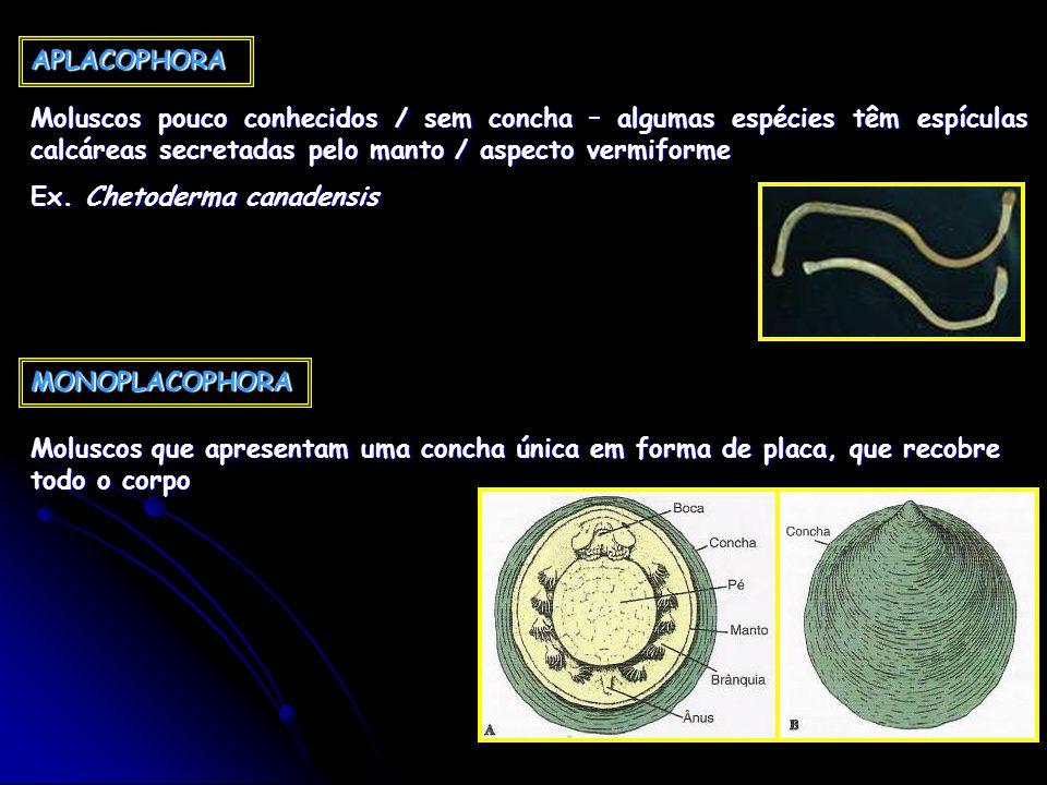 APLACOPHORA Moluscos pouco conhecidos / sem concha – algumas espécies têm espículas calcáreas secretadas pelo manto / aspecto vermiforme Ex. Chetoderm