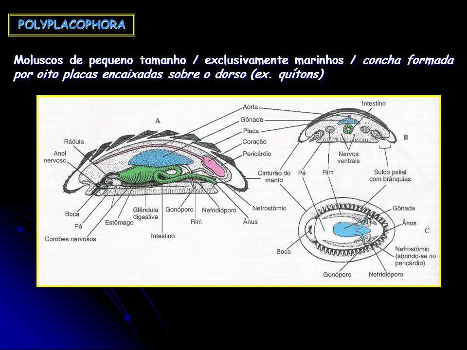 POLYPLACOPHORA Moluscos de pequeno tamanho / exclusivamente marinhos / concha formada por oito placas encaixadas sobre o dorso (ex.