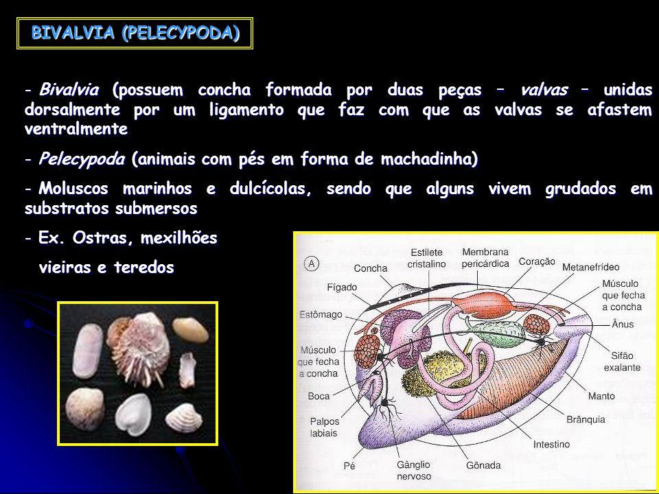 BIVALVIA (PELECYPODA) - Bivalvia (possuem concha formada por duas peças – valvas – unidas dorsalmente por um ligamento que faz com que as valvas se af