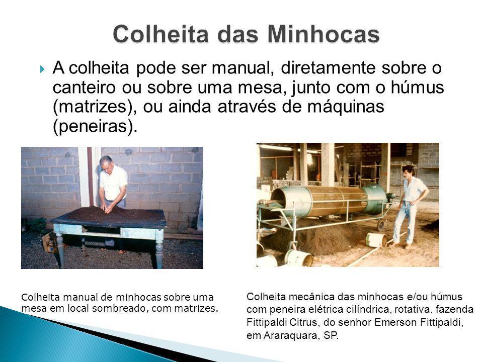 A colheita pode ser manual, diretamente sobre o canteiro ou sobre uma mesa, junto com o húmus (matrizes), ou ainda através de máquinas (peneiras). C