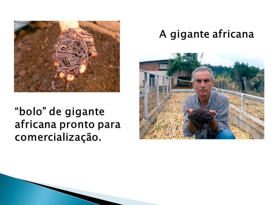 """A gigante africana """"bolo"""" de gigante africana pronto para comercialização."""