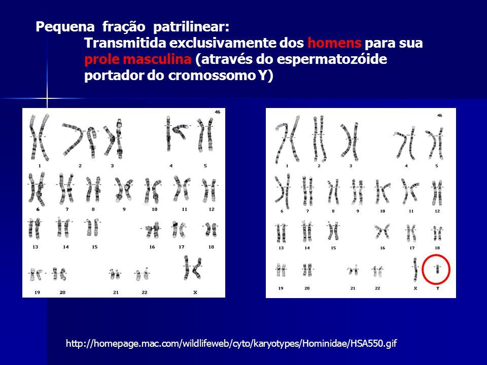 http://homepage.mac.com/wildlifeweb/cyto/karyotypes/Hominidae/HSA550.gif Pequena fração patrilinear: Transmitida exclusivamente dos homens para sua prole masculina (através do espermatozóide portador do cromossomo Y)