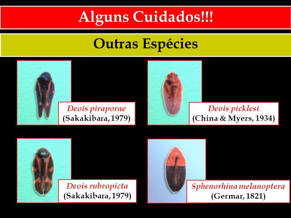 Outras Espécies Alguns Cuidados!!! Deois piraporae (Sakakibara, 1979) Deois picklesi (China & Myers, 1934) Deois rubropicta (Sakakibara, 1979) Sphenor
