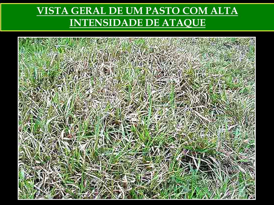 VISTA GERAL DE UM PASTO COM ALTA INTENSIDADE DE ATAQUE