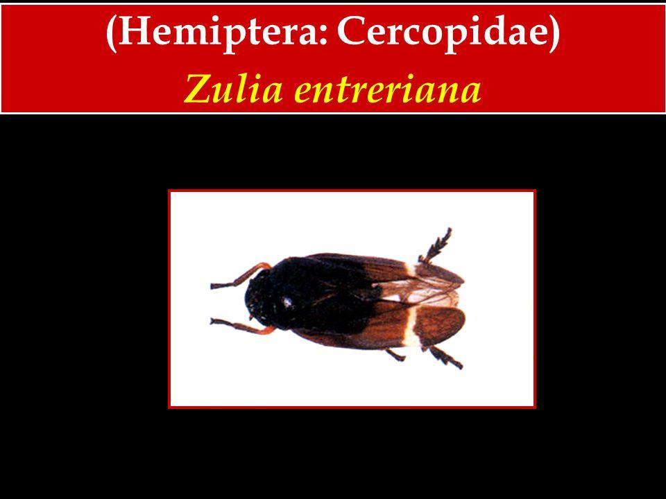 (Hemiptera: Cercopidae) Zulia entreriana