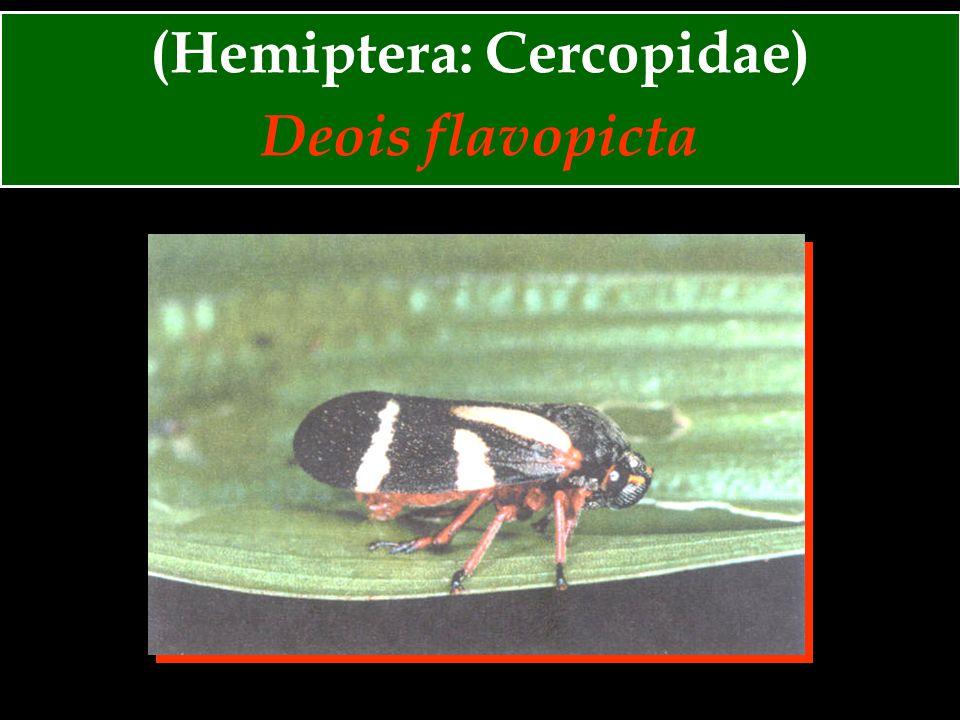 (Hemiptera: Cercopidae) Deois schach