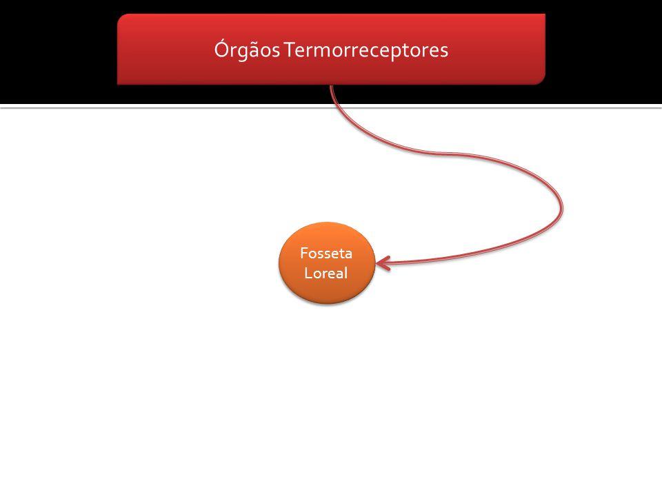 Órgãos Termorreceptores Fosseta Loreal