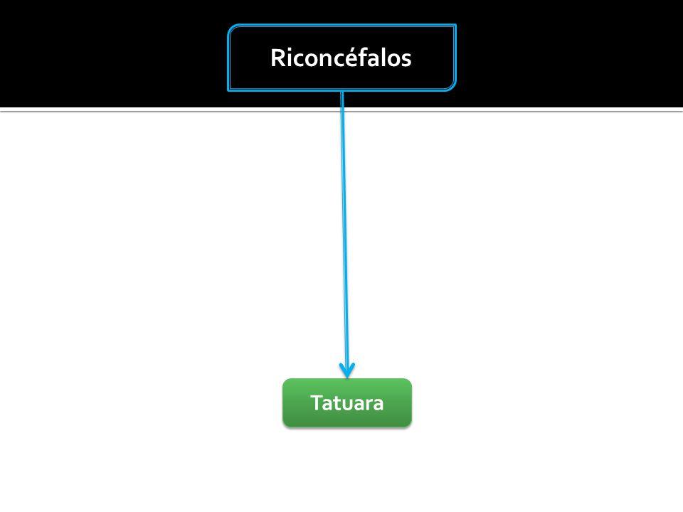 Riconcéfalos Tatuara