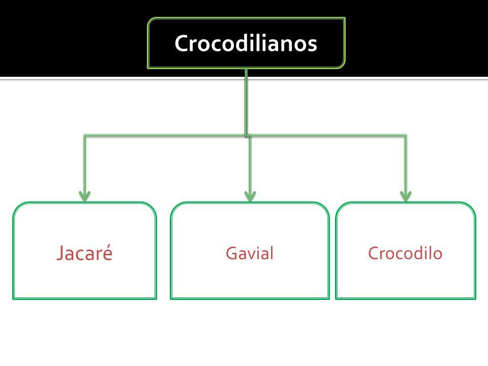 Crocodilianos Jacaré Gavial Crocodilo