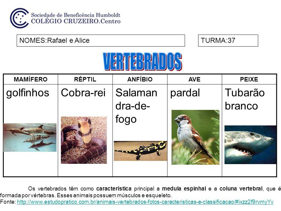 MAMÍFERORÉPTILANFÍBIOAVEPEIXE golfinhosCobra-reiSalaman dra-de- fogo pardalTubarão branco NOMES:Rafael e AliceTURMA:37 Os vertebrados têm como caracte