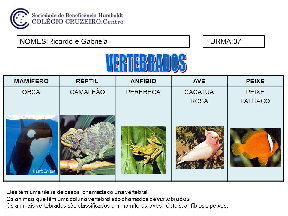 MAMÍFERORÉPTILANFÍBIOAVEPEIXE ORCACAMALEÃOPERERECACACATUA ROSA PEIXE PALHAÇO NOMES:Ricardo e GabrielaTURMA:37 Eles têm uma fileira de ossos chamada co