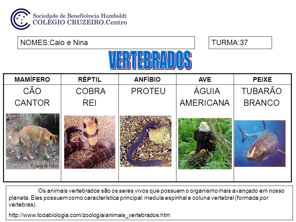 MAMÍFERORÉPTILANFÍBIOAVEPEIXE CÃO CANTOR COBRA REI PROTEU ÁGUIA AMERICANA TUBARÃO BRANCO NOMES:Caio e NinaTURMA:37 Os animais vertebrados são os seres