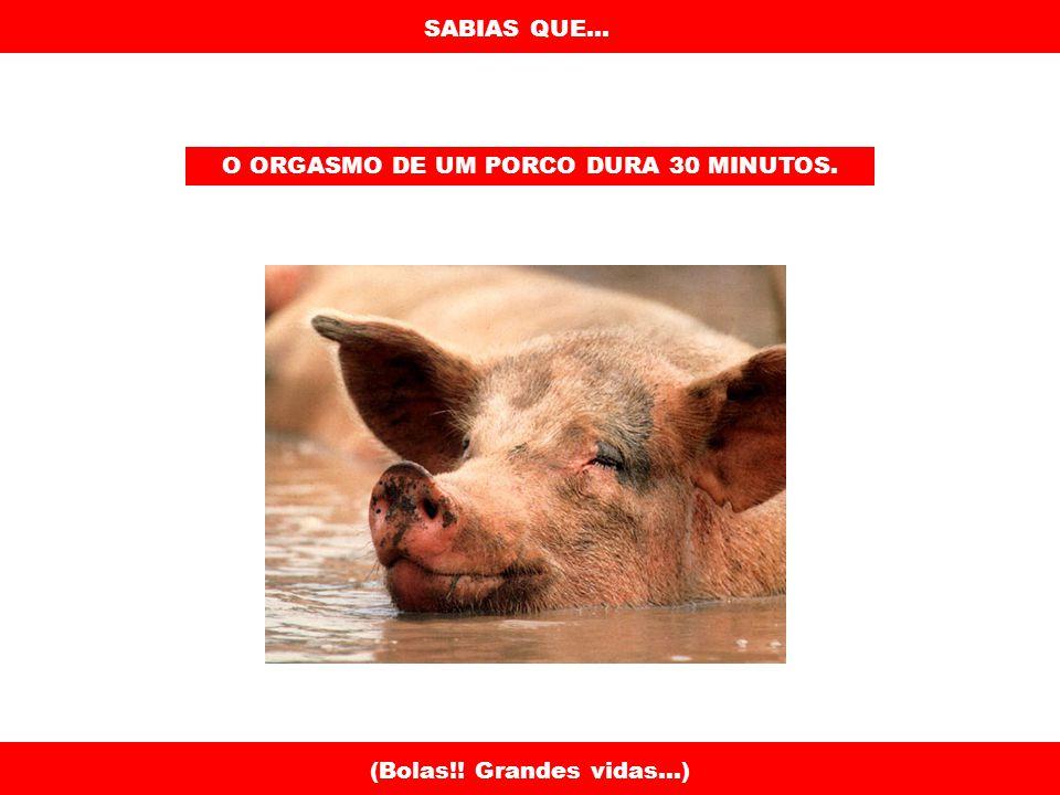 SABIAS QUE... O ORGASMO DE UM PORCO DURA 30 MINUTOS. (Bolas!! Grandes vidas...)