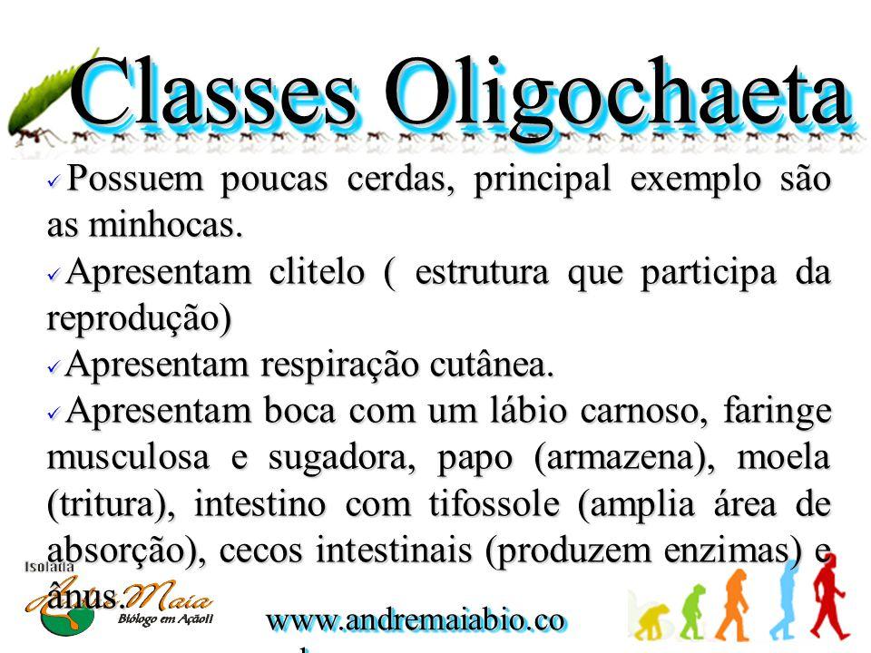 Classes Oligochaeta Possuem poucas cerdas, principal exemplo são as minhocas.
