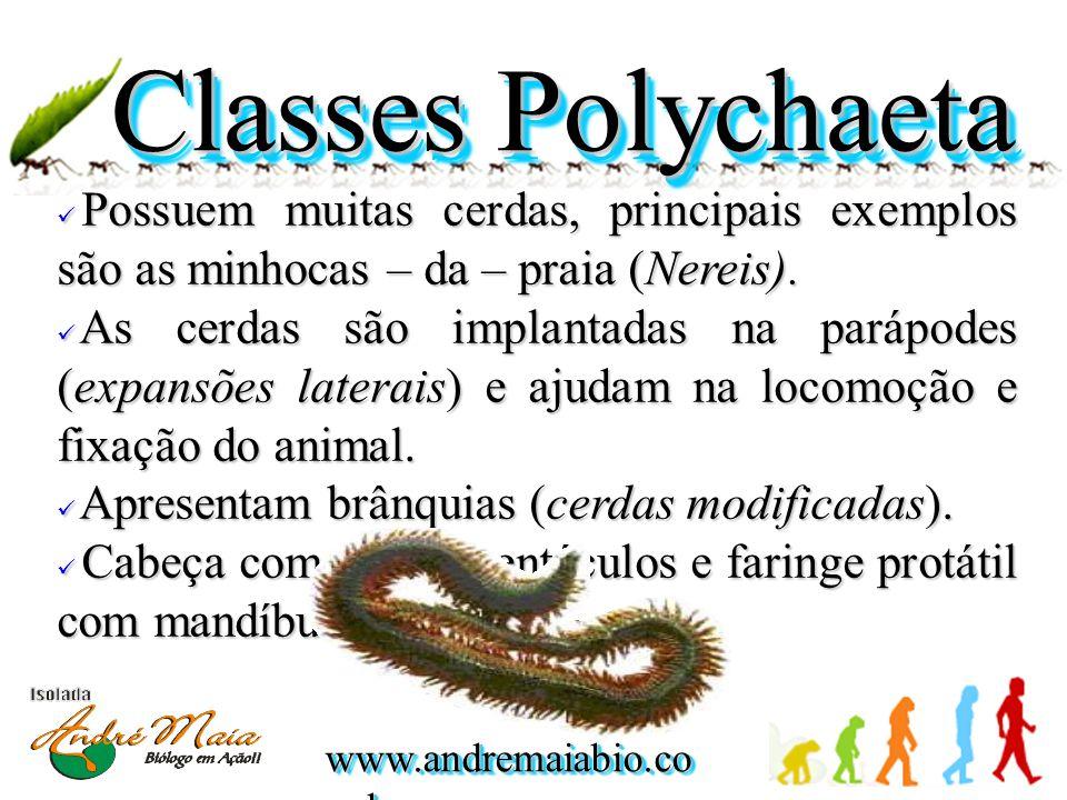 www.andremaiabio.co m.br Classes Polychaeta Possuem muitas cerdas, principais exemplos são as minhocas – da – praia (Nereis).
