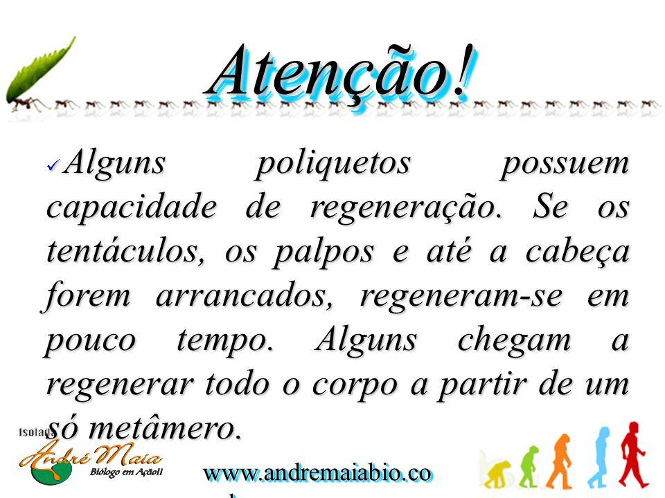 www.andremaiabio.co m.br Atenção!Atenção.Alguns poliquetos possuem capacidade de regeneração.
