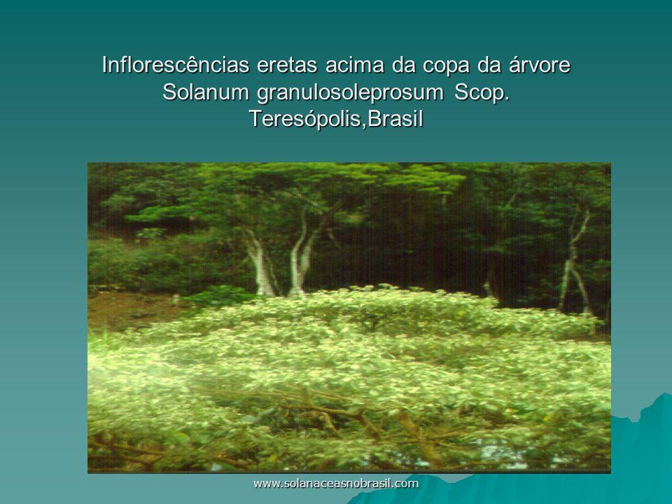 www.solanaceasnobrasil.com Androceu com anteras porícidas amarelas, coniventes, estigma alvacento excluso.