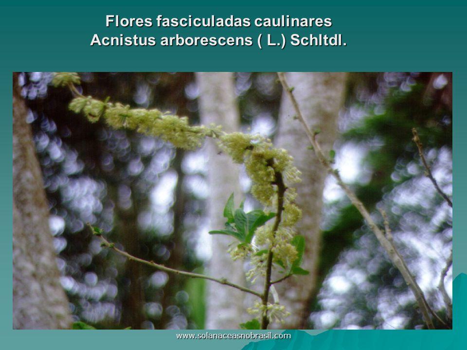 www.solanaceasnobrasil.com Flores fasciculadas caulinares Acnistus arborescens ( L.) Schltdl.