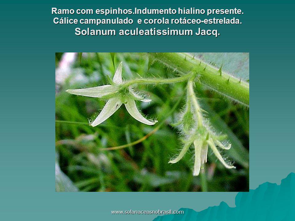 www.solanaceasnobrasil.com Ramo com espinhos.Indumento hialino presente. Cálice campanulado e corola rotáceo-estrelada. Solanum aculeatissimum Jacq.