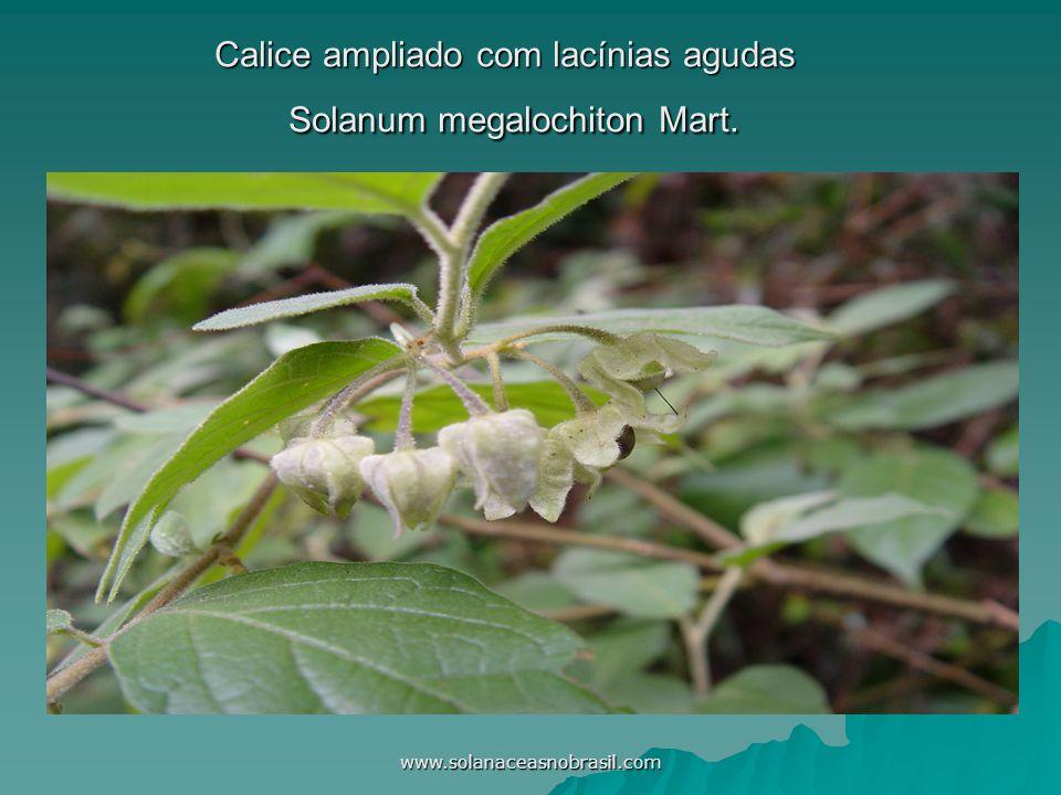 www.solanaceasnobrasil.com Calice ampliado com lacínias agudas Solanum megalochiton Mart.