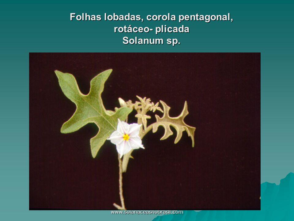 www.solanaceasnobrasil.com Folhas lobadas, corola pentagonal, rotáceo- plicada Solanum sp.