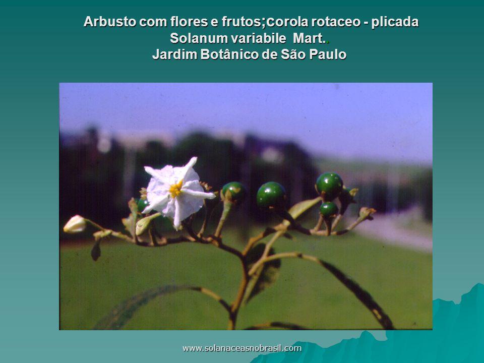 www.solanaceasnobrasil.com Arbusto com flores e frutos ;c orola rotaceo - plicada Solanum variabile Mart.. Jardim Botânico de São Paulo Arbusto com fl
