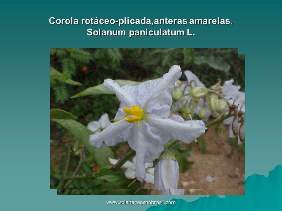 www.solanaceasnobrasil.com Corola rotáceo-plicada,anteras amarelas. Solanum paniculatum L.