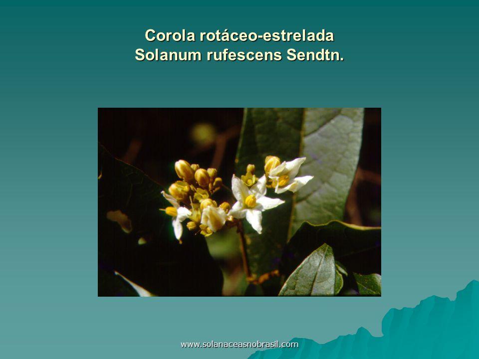 www.solanaceasnobrasil.com Corola rotáceo-estrelada Solanum rufescens Sendtn.