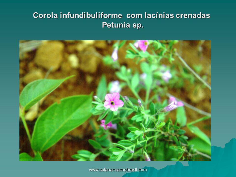 www.solanaceasnobrasil.com Corola infundibuliforme com lacínias crenadas Petunia sp.